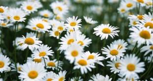 ta cay hoa cuc ma em nhin thay 310x165 - Tả cây hoa cúc mà em nhìn thấy