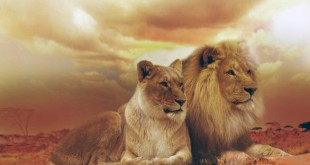 ta con su tu trong vuon thu 310x165 - Tả con sư tử trong vườn thú